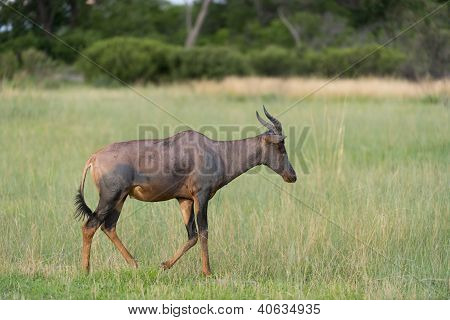 A tsessebe (antilope) in a field