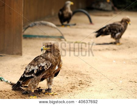 Eagles In Zoo