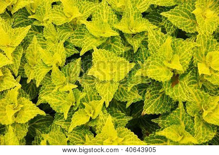 Yellow And Green Coleus