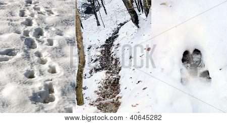Wild Boar Tracks