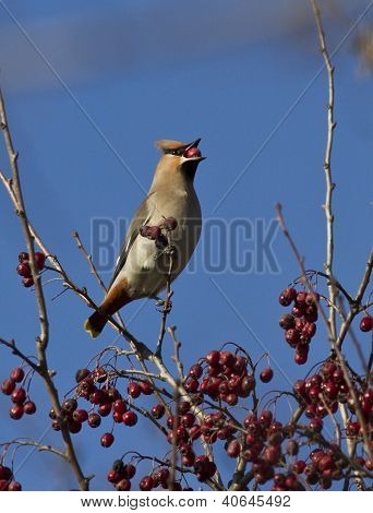 Waxwing Eating Hawthorn Berry Winter Day.