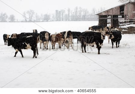 Cattle On A Snowy Day.