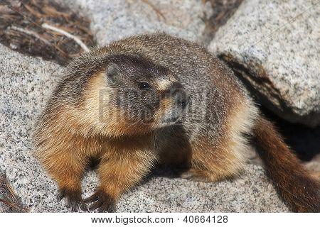 Marmot On A Rock Close Up