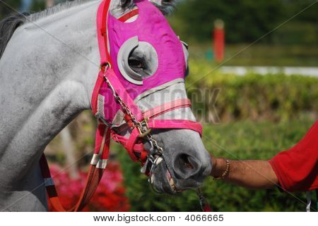 Light Gray Horse With Pink Blinders
