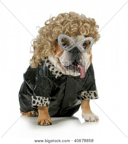 female dog - english bulldog wearing blonde wig and black leather coat isolated on white background