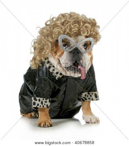 female dog - english bulldog wearing blonde wig and black leather coat isolated on white background