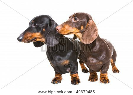 Black And Chocolate Dachshund Dogs On Isolated White