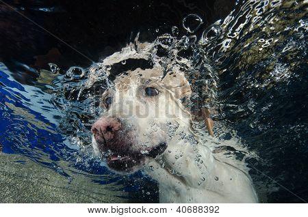 Beautiful Labrador Retriever Diving Underwater