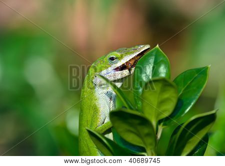Green Anole lizard eating an insect