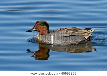 Green-winged Teal (anais Carolinensis)