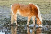stock photo of feedlot  - Horse standing in a pool after days of raining Holland - JPG