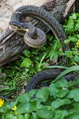 pic of green whip snake  - The Snake in natural habitat  - JPG