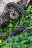 picture of green whip snake  - The Snake in natural habitat  - JPG