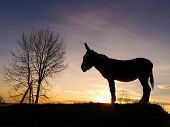 picture of horses ass  - Silhouette of a donkey standing in field with sun setting in background - JPG