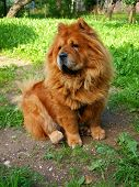 Brown Chow Chow Dog Dina In The Green Grass