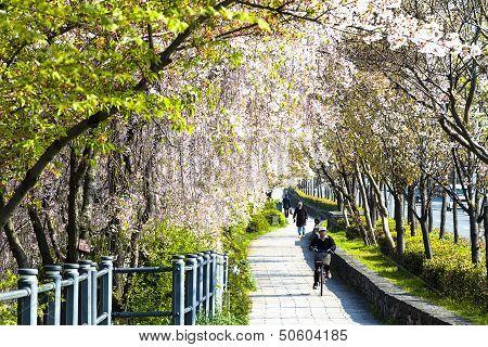 Sakura in Kyoto Japan