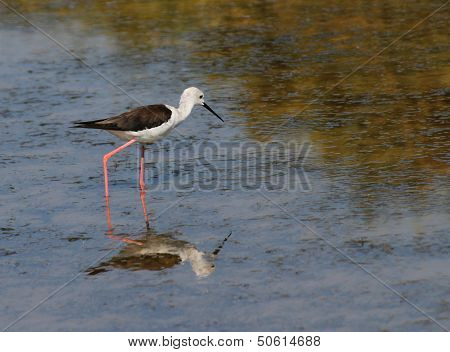 Black-winged Stilt Bird With Long Tapered Legs Walking In The Pond 1
