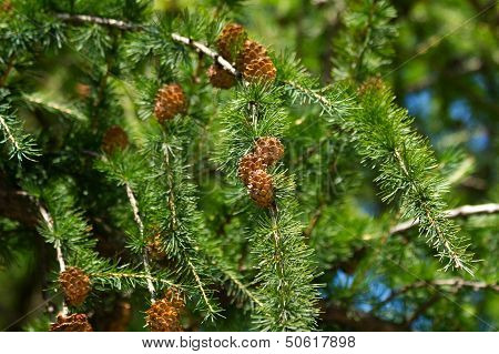 Larch Branches With Cones
