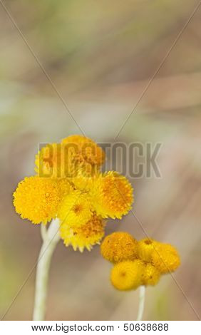 Australian Spring Wildflowers Yellow Billy Buttons
