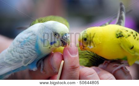 Yellow Green Budgie Parrot Pet Bird