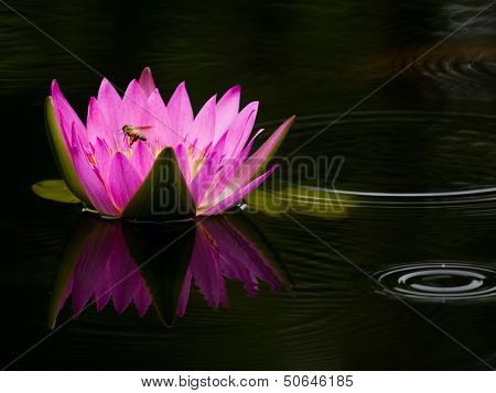 Lotus Flower With Reflect And Bee In The Pond