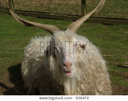 Highland Sheep