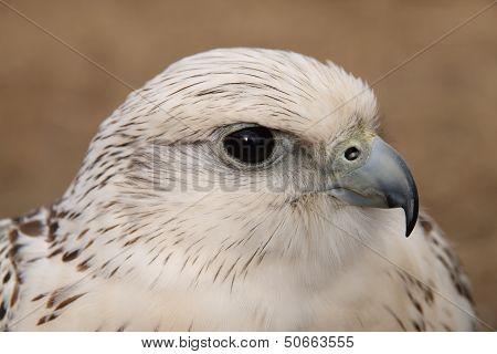 Falcon Head.