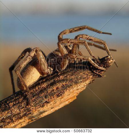 Wolf spider. Hogna radiata.