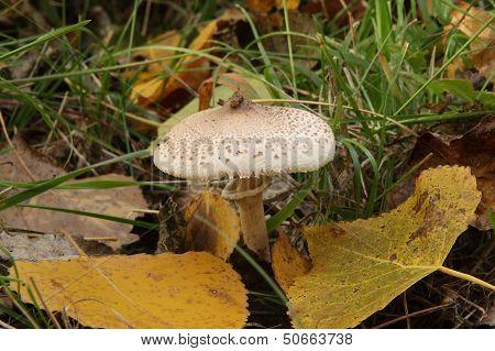 Lepiota. Seta between poplar leaves.