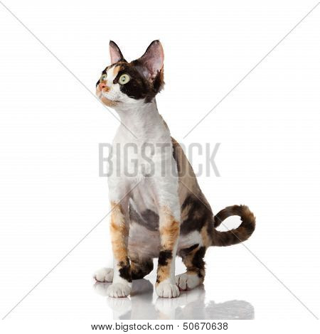 Devon Rex. Portrait On A White Background