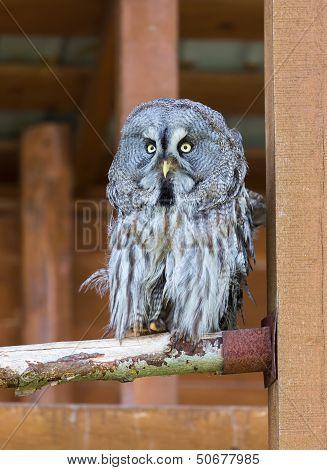 Lapland (great Gray) Owl