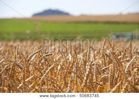 Grain Field In The Summer