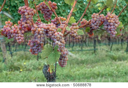Gewuerztraminer Grape,South Tyrol,Trentino,Italy