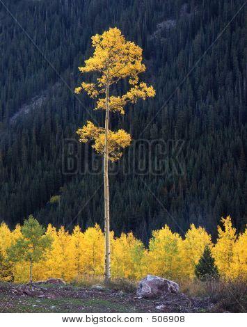 Tall Aspen Tree