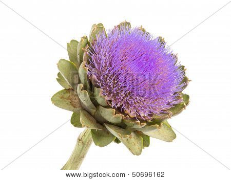 Isolated, Artichoke, White, Backgound, Violet, Flower, Wild, Plants, Flowers, Thistle, Nature, Cynar