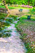 foto of pinky  - Sakura is falling so the pond is covered with pinky sakura - JPG