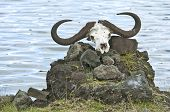 stock photo of cape buffalo  - A Cape Buffalo skull rests on a pile of stones in Tanzania Africa - JPG