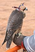 stock photo of falcons  - Falcon encaperuzado on the falconer - JPG