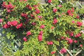 stock photo of climbing roses  - Flowering climbing rose  - JPG