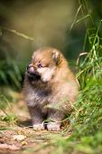 stock photo of miniature pomeranian spitz puppy  - Small Pomeranian puppy sitting in the green grass - JPG