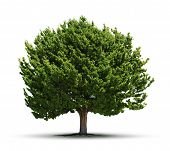 image of juniper-tree  - Big green juniper tree isolated on white background - JPG