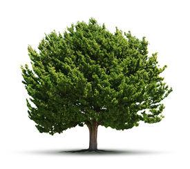 stock photo of juniper-tree  - Big green juniper tree isolated on white background - JPG