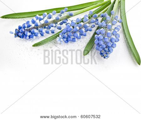 Blue Flowers Muscari with water drops, Springs Card,  Isolated on white background