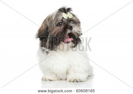 Shihtzu Puppy Yawn