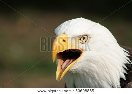 Chirping Bald Eagle