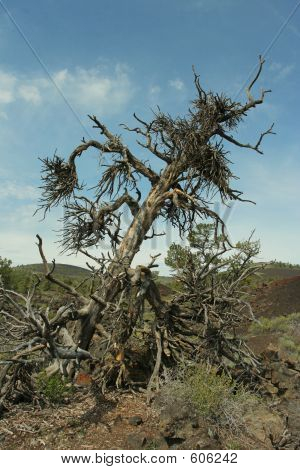 Witch's Broom Tree