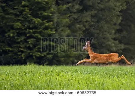 Buck deer on the run