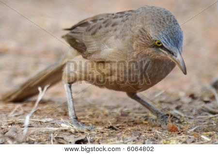 Large Grey Babbler