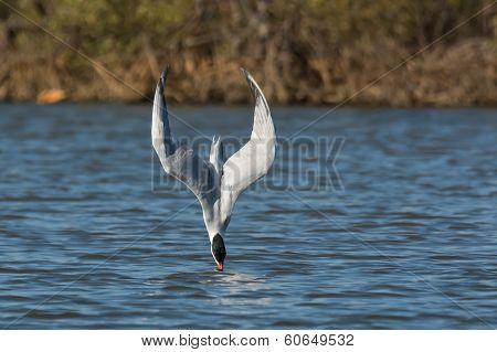 Caspian Tern In A Dive On Impact