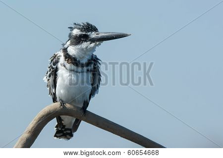 Pied Kingfisher (ceryle Rudis) With Ruffled Feathers